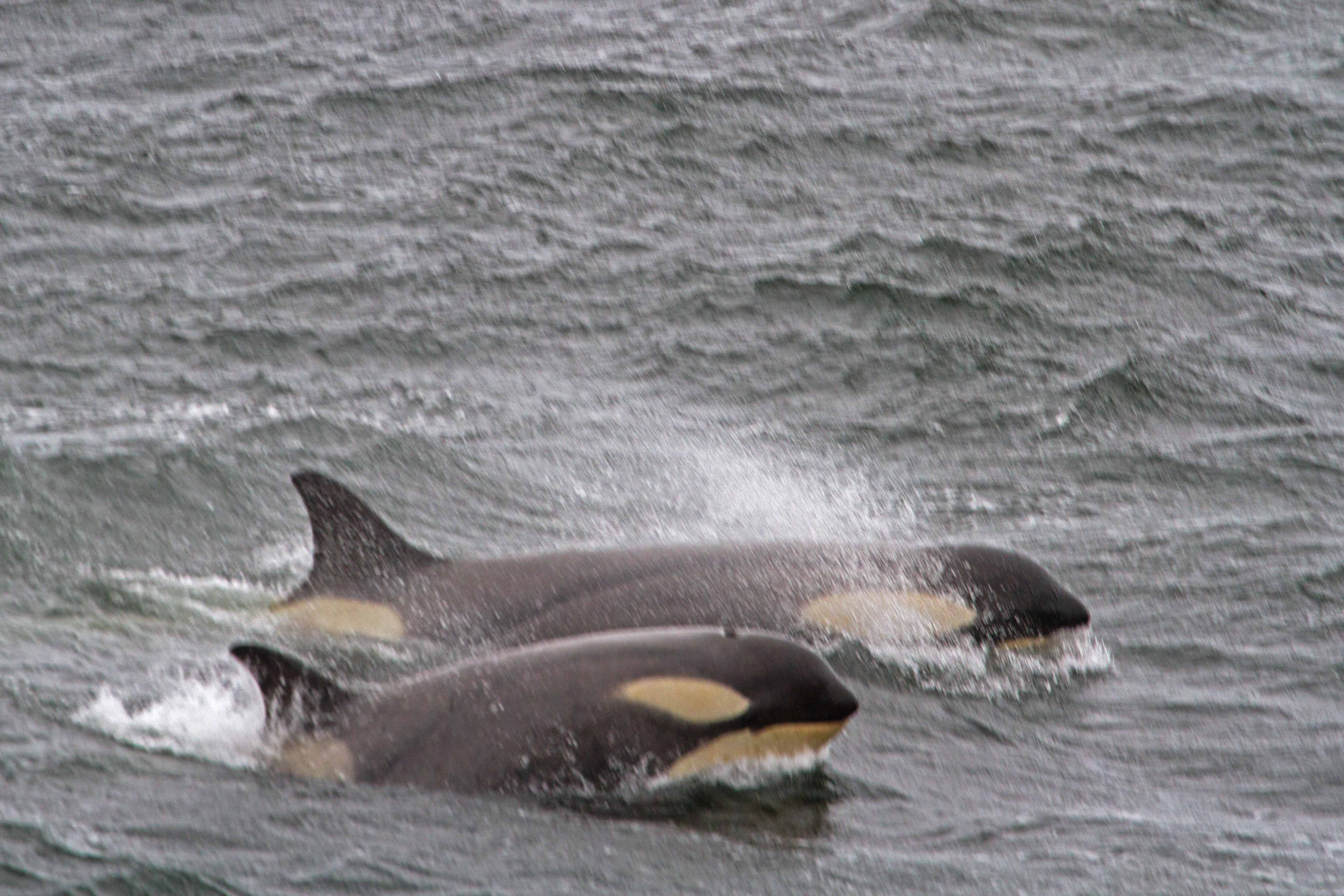 _MG_9251 orca small