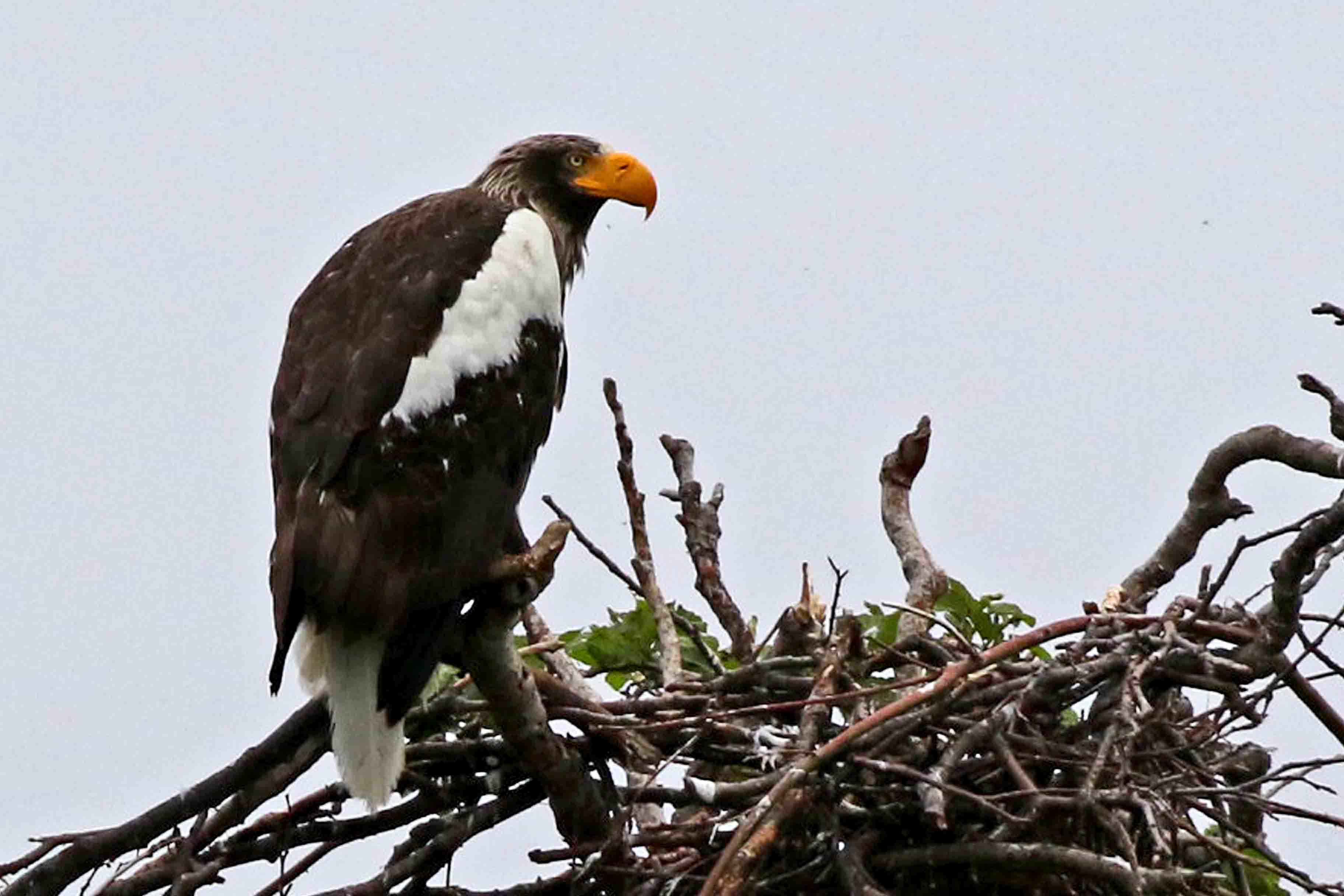 The prize was the Steller's sea Eagle, the heaviest eagle in the world, with a beak strong enough to crush a small car. Here it is at its nest, which is about 2m wide