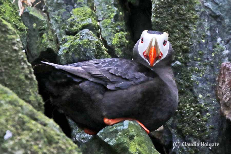 1S8A2775 tufted puffin_edited-1V small