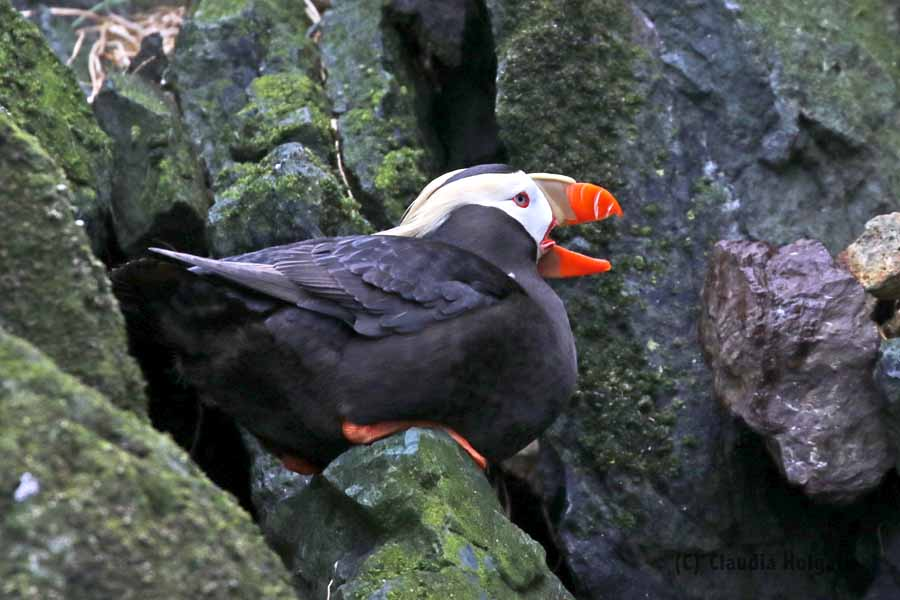 1S8A2781 tufted puffin yawning_edited-1V small