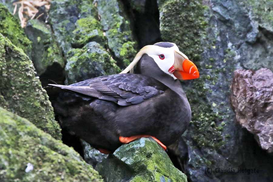 1S8A2789 tufted puffin_edited-1V small