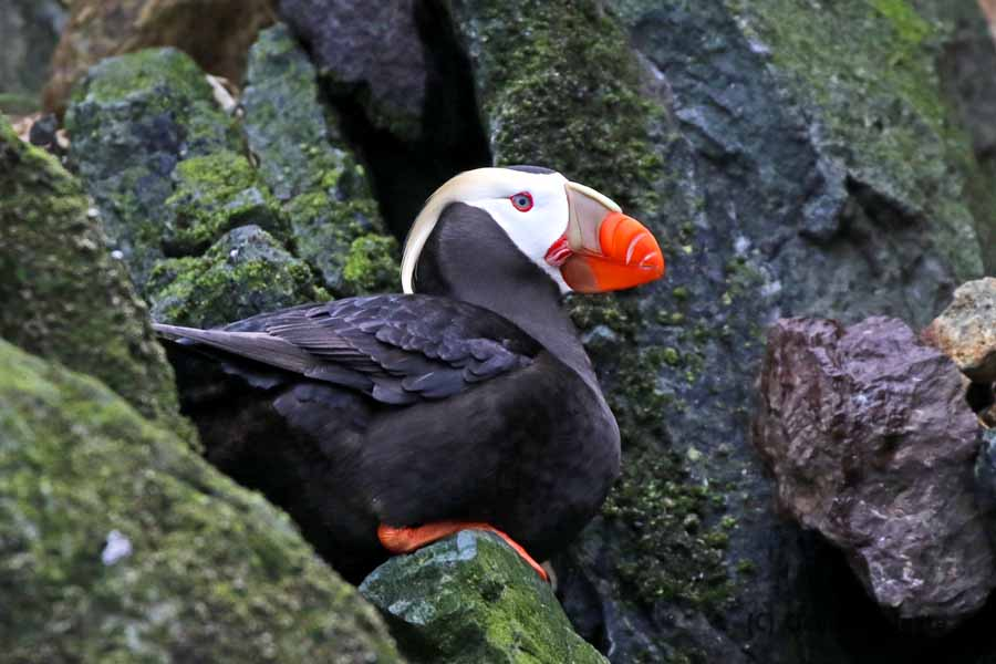 1S8A2796 Tufted puffin_edited-1V small