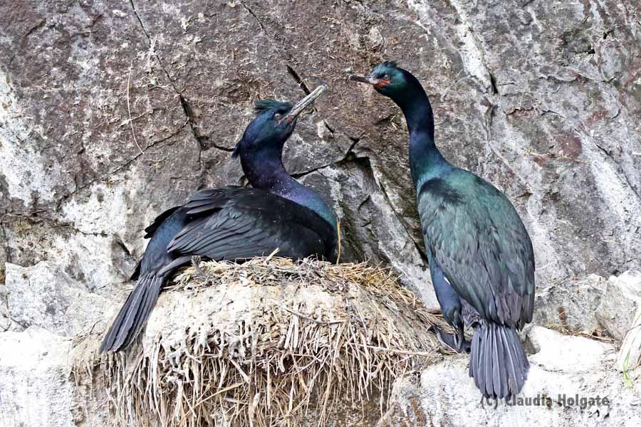 Double crested cormorants, glistening