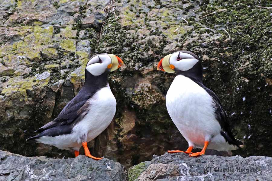 Horned puffin - with the white belly