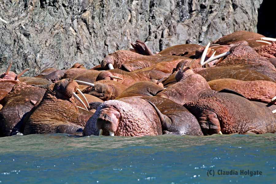 Watching a walrus haul out is like watching the grass grow