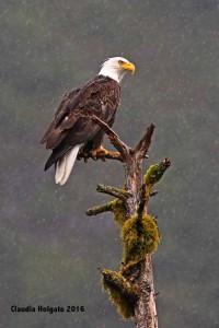 1S8A5576 eagle in rain_edited-1 sml