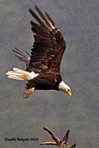 1S8A5579 eagle landing_edited-1 sml