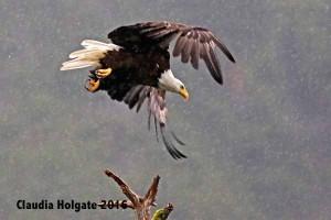 1S8A5581 eagle flight_edited-1 sml