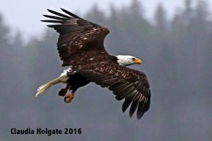 1S8A5766 bald eagle flight_edited-1 sml