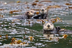 1S8A5894 3 otters_edited-1 sml