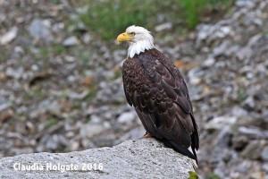 1S8A7135 bald eagle_edited-1 sml
