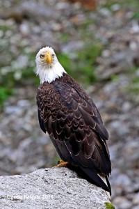 1S8A7141 bald eagle_edited-1 sml